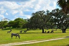Zebra en Nijlpaard in Afrikaanse stijlvegetatie bij Bush-Tuinen Tampa Bay stock fotografie