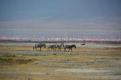 Zebra en safari Tanzania Stock Afbeeldingen