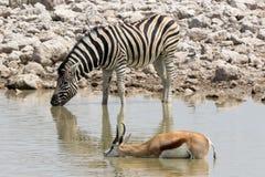 Zebra en springbok Stock Foto's