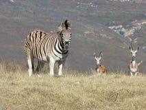 Zebra en springbokken in Afrika royalty-vrije stock afbeelding