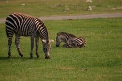 Zebra en welp Royalty-vrije Stock Fotografie