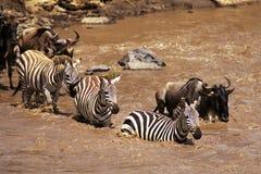 Zebra en Wildebeest stock foto's