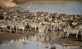 Zebra en Wildebeest in de Grote Migratie royalty-vrije stock foto