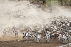 Zebra en Wildebeest in de Grote Migratie stock foto's