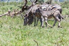 Zebra and calf enjoying the succulent green grass. royalty free stock image