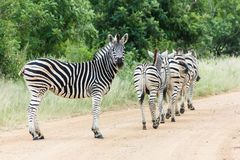 Zebra herd on a dirt road. stock photography