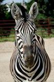 Zebra engraçada Fotografia de Stock Royalty Free