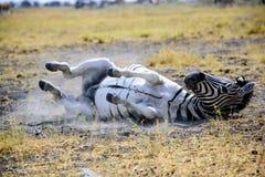 Zebra enjoying an early morning dust bath Stock Photo