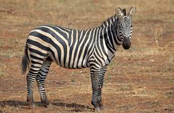 Zebra (Equus burchelli) Royalty Free Stock Images
