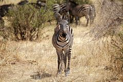 Zebra (Equus burchelli) Royalty Free Stock Image