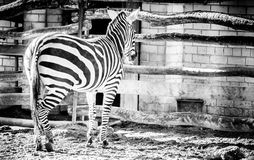 Zebra Stock Photography