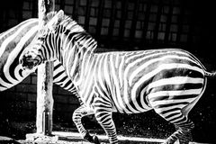 Zebra Stock Images