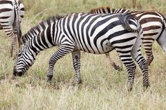 Zebra (Equus burchelli) Royalty Free Stock Photos
