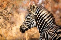 Zebra -Equus Burchelli Royalty Free Stock Images