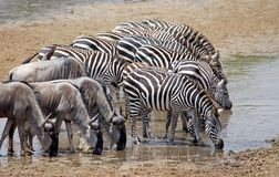 Zebra (Equus burchelli) and wildebeest (Connochaetes taurinus) Royalty Free Stock Photo