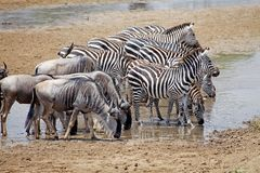 Zebra (Equus burchelli) and wildebeest (Connochaetes taurinus) Royalty Free Stock Image
