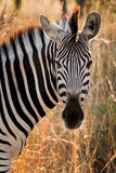 Zebra (Equus burchelli) Royalty Free Stock Images