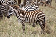 Zebra (Equus burchellii) Stock Photography