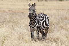 Zebra (Equus burchellii) Stock Images