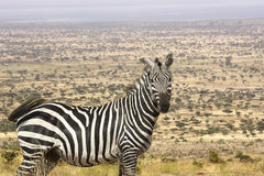 Zebra (Equus burchellii) in the savanna Royalty Free Stock Photography