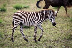 Zebra (Equus burchellii) Royalty Free Stock Photography