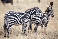 Zebra (Equus burchellii) Royalty Free Stock Photo