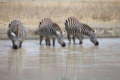 Zebra (Equus burchellii) Royalty Free Stock Image