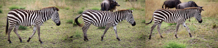 Zebra (Equus burchellii) Stock Photo