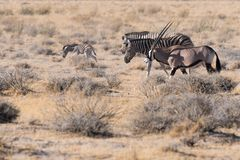 Zebra family take a walk with an oryx in Etosha National Park, Namibia royalty free stock photos