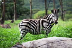 Zebra. Equus. Royalty Free Stock Photography