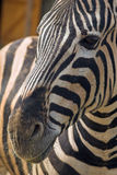 Zebra - Equus grevyi. Portrait. Nice in black and white converted Royalty Free Stock Image
