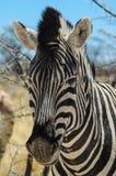 Zebra (Equus kwaga) Fotografia Royalty Free