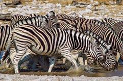 Zebra (Equus kwaga) Obraz Royalty Free