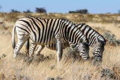 Zebra (Equus kwaga) Obrazy Royalty Free