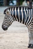 Zebra, Equus-quagga royalty-vrije stock fotografie