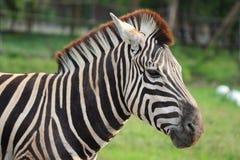Zebra [Equus quagga]. Close up of zebra [Equus quagga] on natural background Stock Photo