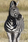 Zebra (Equus quagga) - Botswana. Zebra (Equus quagga) in the Savuti area of Botswana Stock Photography