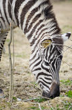 Zebra - Equus quagga eating Stock Images