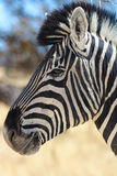 Zebra (Equus quagga) in the Etosha National Park Royalty Free Stock Image