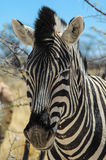 Zebra (Equus quagga) in the Etosha National Park Royalty Free Stock Photography