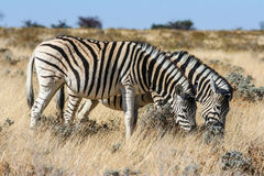 Zebra (Equus quagga) in the Etosha National Park Royalty Free Stock Images