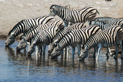 Zebra (Equus quagga) in the Etosha National Park Stock Photos