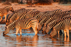 Zebra (Equus quagga) in the Etosha National Park Royalty Free Stock Photos