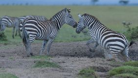 Zebra, Equus quagga,jumping from waterhole stock photos