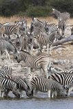 Zebra (Equus quagga) - Namibia. Zebra (Equus quagga) at a waterhole in Etosha National Park in Namibia stock photos