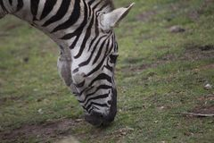 Zebra (Equus quagga) Royalty Free Stock Photo