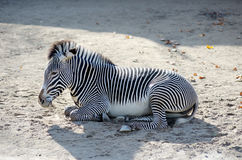 Zebra Equus quagga with stripes. Relaxing Royalty Free Stock Photo
