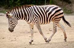 Zebra - Equus quagga Stock Photos