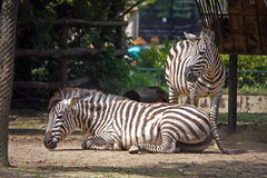Zebra, equus quagga. African mammals, photographed at the zoo Royalty Free Stock Photography