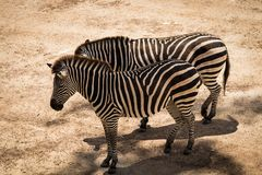Zebra Equus quagga. Standing in some shade on a hot dry day royalty free stock image
